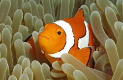 black clownfish anemone