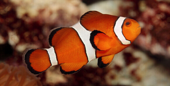 Ocellaris Clownfish - Care, Breeding, Feeding, Hosting ...